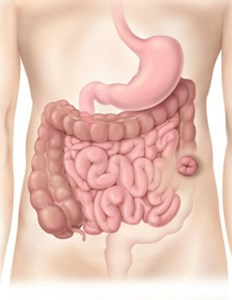 The Digestive System showing a Descending Colostomy in the Colon